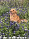 Protector Of Bluebonnets
