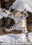 Leaping Snow Leopard Caught
