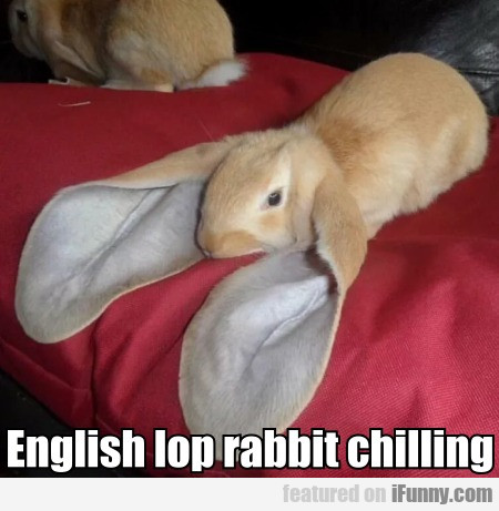 English Lop Rabbit Chilling