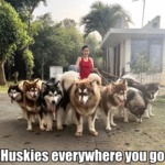 Huskies Everywhere You Go