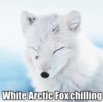 White Arctic Fox Chilling