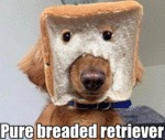Pure Breaded Retriever