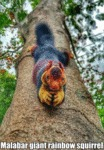 Malabar Giant Rainbow Squirrel