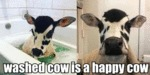 Washed Cow Is A Happy Cow
