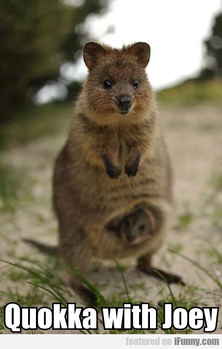Quokka With Joey