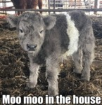 Moo Moo In The House