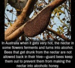 In Australia, When It Gets Very Hot, The Nectar...