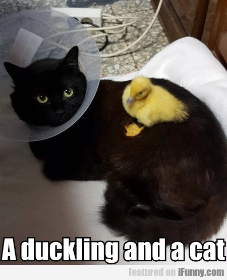 A duckling and a cat
