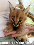 Caracals Are The Cutest