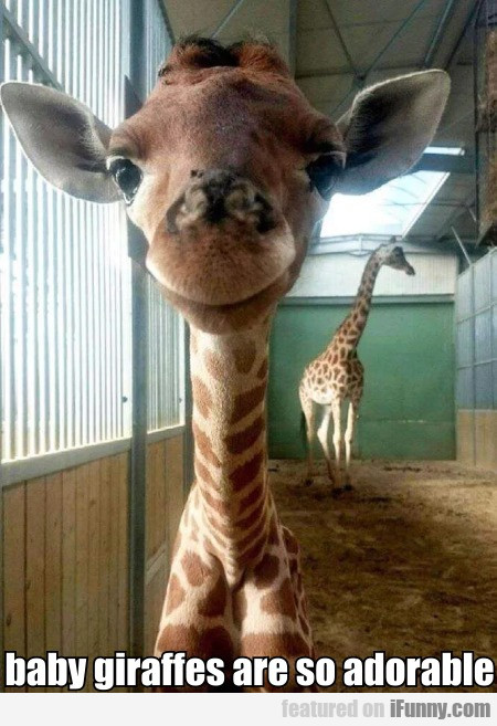 Baby Giraffes Are So Adorable