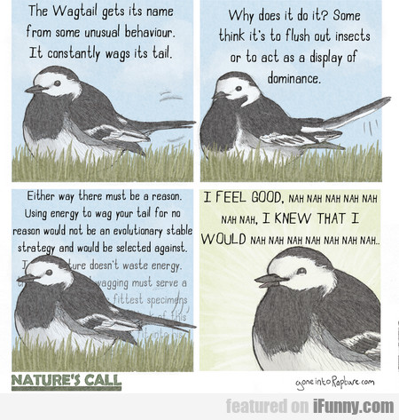 the wagtail gets its name from some unusual...