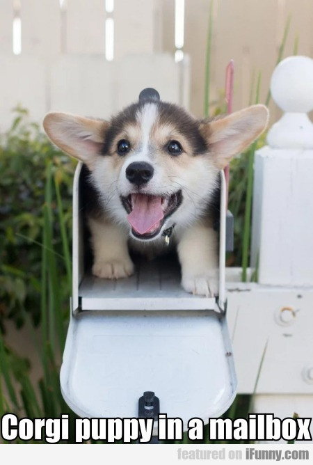 Corgi Puppy In A Mailbox