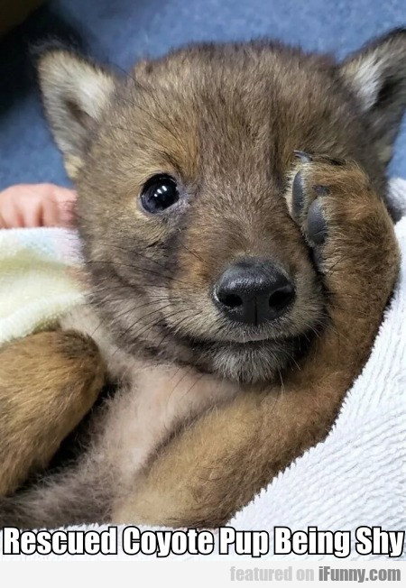 Rescued Coyote Pup Being Shy