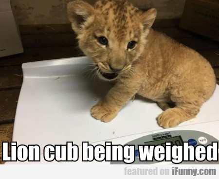 Lion cub being weighed