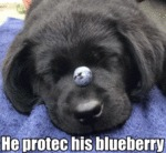 He Protec His Blueberry