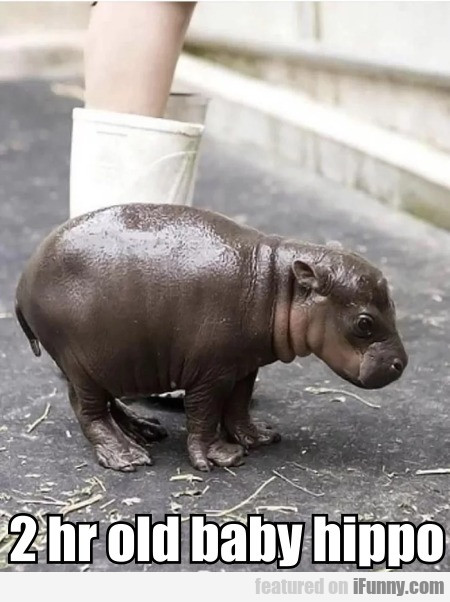 2 Hr Old Baby Hippo