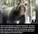 There's A Grizzly Bear In Canada Nicknamed...