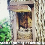 Snakes Squatting In A Bird House