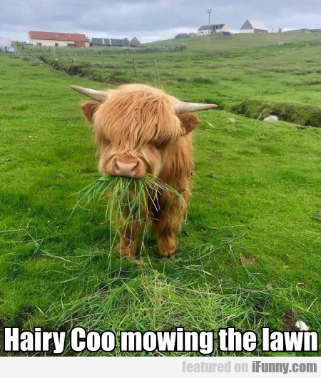 Hairy Coo mowing the lawn