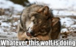 Whatever This Wolf Is Doing