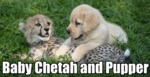 Baby Chetah And Pupper