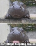 Baby Hippo Blepping Around