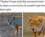 Tibetan Foxes Look Like Someone Tried To Draw