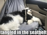 Tangled In The Seatbelt