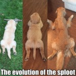 The Evolution Of The Sploot