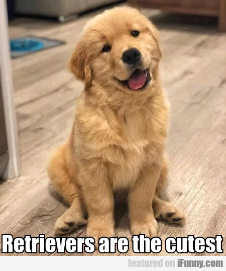 Retrievers Are The Cutest