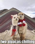 Two Alpacas Chilling