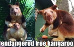 Endangered Tree Kangaroo