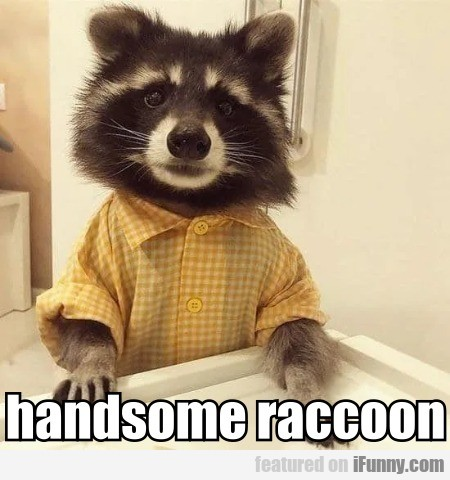 handsome raccoon