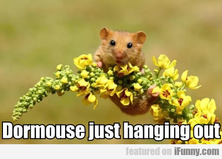 Dormouse Just Hanging Out