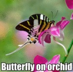 Butterfly On Orchid