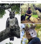 This Is A Harpy Eagle, The Largest Eagle In...